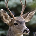 Young Buck by Ben Upham III