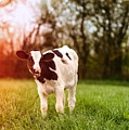 Young Calf by Amanda Elwell