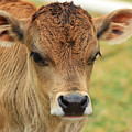 Young Calf In A Pasture by Robert Hamm