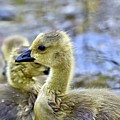Young Canadain Goose by Jeramey Lende