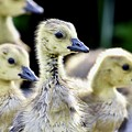 Young Canadian Goose Goslings by Jeramey Lende