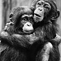 Young Chimpanzees by Granger