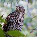 Young Cooper's Hawk by Laurel McFarland