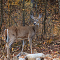 Young Deer by Karen Goodwin