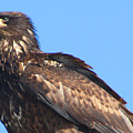 Young Eagle  by Nick Gustafson