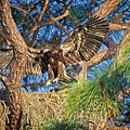 Young Eagle On Nest by Ronald Lutz