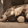 Young Elephant Lying Down by Johan Swanepoel