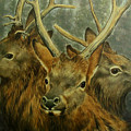 Young Elk Trio- Wapiti by Elaine Booth-Kallweit