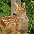 Young Fawn by Mel Manning