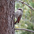 Young Flicker by Charlotte Patterson