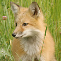 Young Fox by Doris Potter