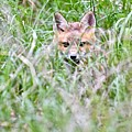 Young Fox Kit Hiding In Tall Grass by Jeramey Lende