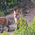 Young Foxes At The Den by David Taylor
