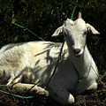 Young Goat Next To A Bush by Robert Hamm