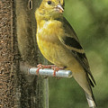 Young Goldfinch by Constantine Gregory