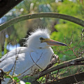 Young Great Egret by Kenneth Albin