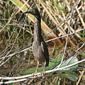 Young Green Heron  by Christiane Schulze Art And Photography