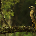 Young Hawk by Tress Chapin