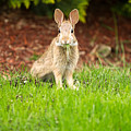 Young Healthy Wild Rabbit Eating Fresh Grass From Yard  by Thomas Baker