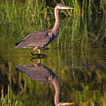 Young Heron by Randall Ingalls