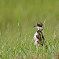 Young Killdeer In Grass by Mark Duffy