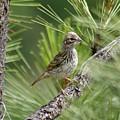 Young Lark Sparrow 2 by Ben Upham III