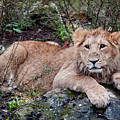 Young Lion  by Bel Menpes
