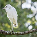 Young Little Blue Heron by David Ramage