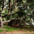 Young Live Oaks by Susan Isakson