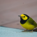 Young Male Hooded Warbler 3 by Douglas Barnett