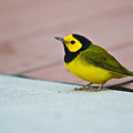 Young Male Hooded Warbler 4 by Douglas Barnett