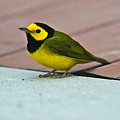 Young Male Hooded Warbler 5 by Douglas Barnett