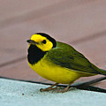 Young Male Hooded Warbler 6 by Douglas Barnett