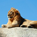Young Male Lion Reclining On A Rock by Wendell Clendennen