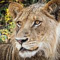 Young  Male Lion by Stefan Nielsen