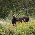 Young Male Moose by William Tasker