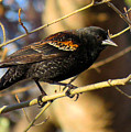 Young Male Red-winged Black Bird by Dianne Cowen