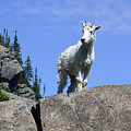 Young Mountain Goat by Art Berggreen