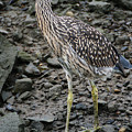 Young Night Heron by William Selander