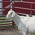 Young Old Goat White And Grayish Red Fence And Gate Barn In Close Proximity 2 9132017 by David Frederick