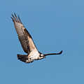 Young Osprey Flies With Its Breakfast by Tony Hake