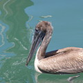 Young Pelican by Jim  Cooper