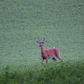Young Pomfret Summer Buck by Neal Eslinger