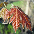 Young Red Maple Leaf In May by Kent Lorentzen