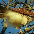 Young Red-tail by Phill Doherty