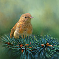 Young Robin On Pine Tree by Robert Murray