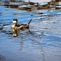 Young Ruddy Duck by Imagery by Charly