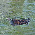 Young Sea Turtle by Svetlana Foote