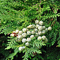 Young Seed Cones Of Lawson Cypress by Rod Johnson