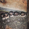 Young Swallows, Lancashire, England, Uk by Samuel Pye